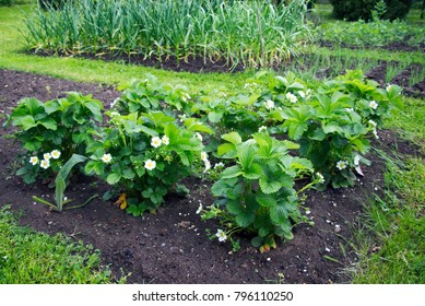 flowering strawberry plants in the garden at springtime, organic homegrown foods in garden beds, focus on a flowering strawberry plant