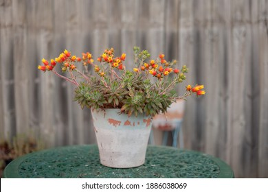 Flowering Succulent in a pot on green cast iron outdoor table