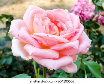 Flowering summer rose