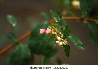 Flowering Symphoricarpos albus. Tiny beautiful pink-white flowers on the branch. Green wet leaves. Autumn time.