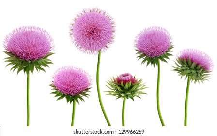 flowering thistle branches isolated white background