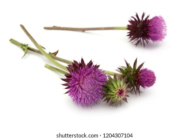 A flowering thistle isolated white