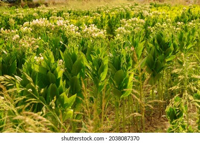 Flowering tobacco plant on tobacco field background.