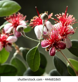 Flowering tree feijoa (Acca sellowiana).