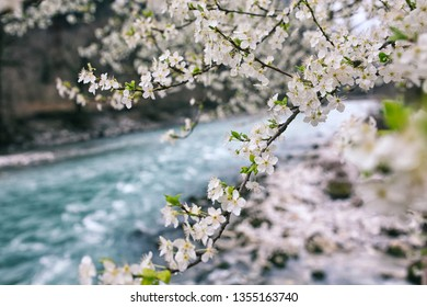 flowering tree on the background of a mountain river