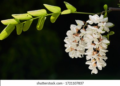 Flowering tree Robinia pseudoacacia. Known as False Acacia or Black locust. White flowers with green leaves.