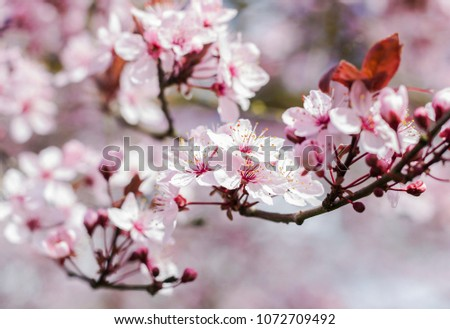 Flowering Tree Spring Many Small White Stock Photo Edit Now