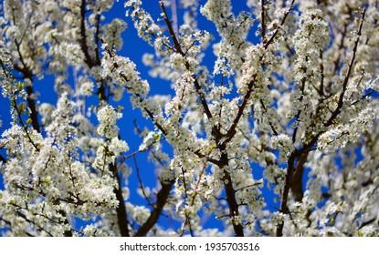 flowering trees in April in spring - Shutterstock ID 1935703516
