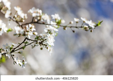 The flowering trees close up, spring time