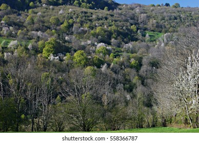 flowering trees dot the mountains in Central France at the beginning of Spring