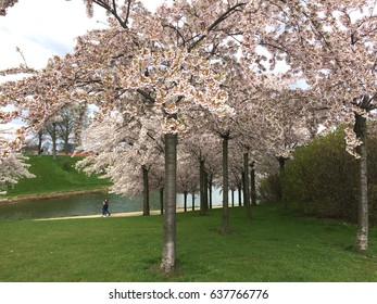 Flowering trees in a park in Copenhagen Denmark