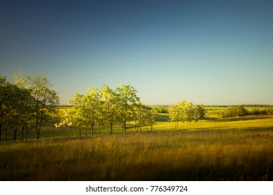 Flowering trees of white acacia in the middle of the Ukrainian steppe in the evening