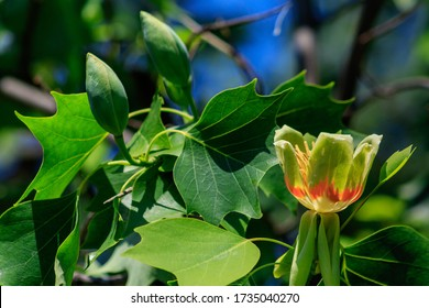 Flowering tulip tree (Liriodendron Tulipifera, Tulip Tree, American Tulip Tree, Tuliptree) in one of the city's parks.