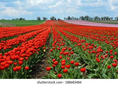 flowering tulips growing on a field in spring