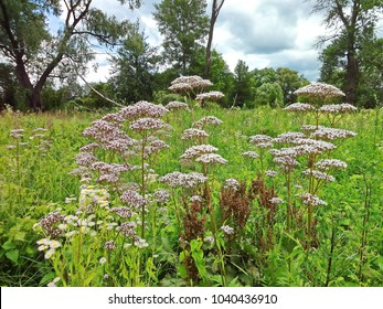 Flowering valerian (Valeriana officinalis) plant in the meadow.