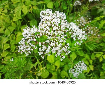 Flowering valerian (Valeriana officinalis) plant in the grass.