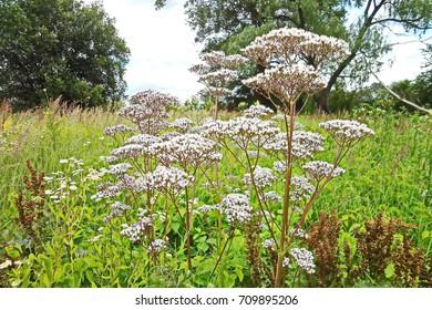Flowering valerian (Valeriana officinalis) plants in the meadow.
