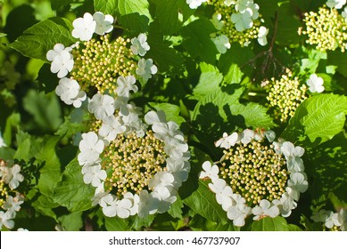 Flowering of viburnum