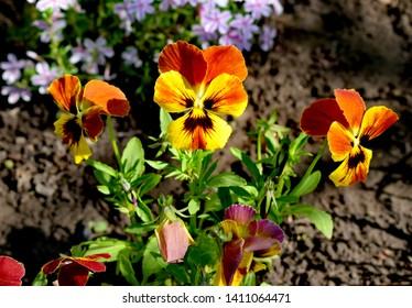 Flowering of Viola tricolor in the garden