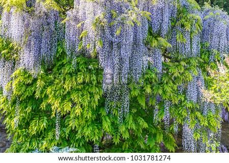 Flowering Violet Wisteria Japanese Wisteria Floribunda Stock Photo ...