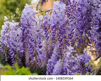 Flowering violet Wisteria Sinensis. Beautiful Prolific tree with scented classic purple flowers in hanging racemes. Blue Chinese wisteria is a species of flowering plant in the pea and Fabaceae family