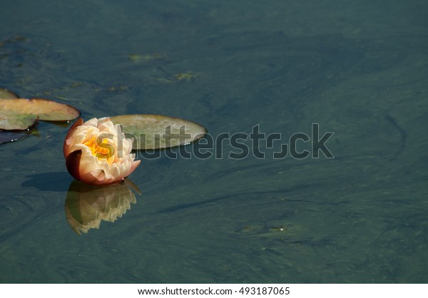 flowering water lily on lake