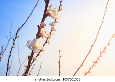 Flowering white apricots with swollen buds on a sunny spring day on a blurred background of blue sky.