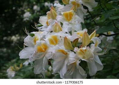 Flowering white azalea bush