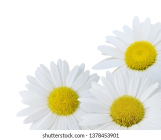 Flowering white chamomile bouquet. Isolated on a white
