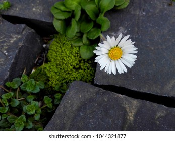 Flowering white daisy flower and moss green plants on brick cobble stone floor. Closeup of cute daisy wildflower on sliced stone background. Macro of mossy pattern ground in city landscape design park