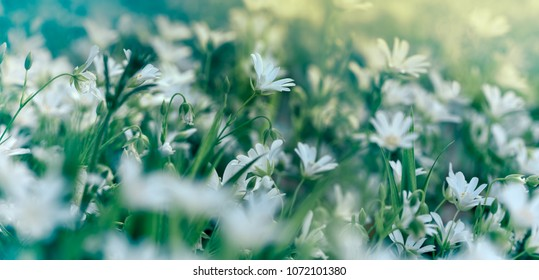 Flowering white flower in meadow, flowering in spring (beautiful nature)