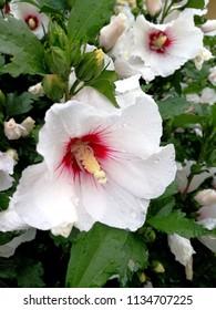 Flowering white hibiscus