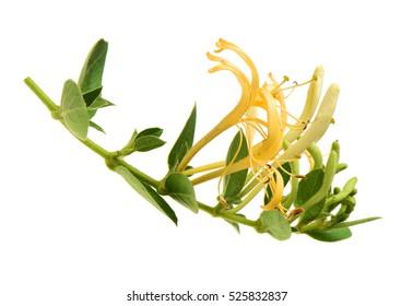 Flowering white-yellow Honeysuckle(Woodbine). Isolated on white background
