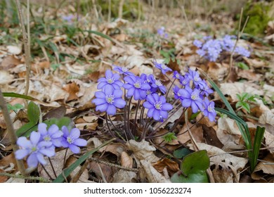 Flowering wild Anemone hepatica (Hepatica nobilis) in the spring forest