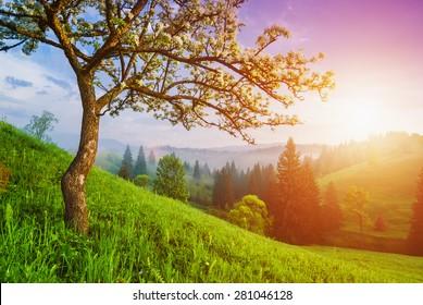 Flowering wild apple tree on a green hill in a Carpathian mountains. Majestic sunrise