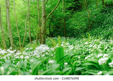 Flowering wild Garlic completely covers the forest floor. Thornton Glen, Scotland