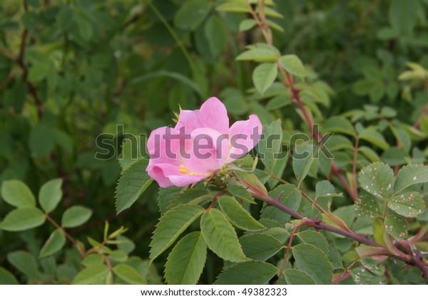 Flowering of wild pink Mountain Rose (Rosa pendulina)