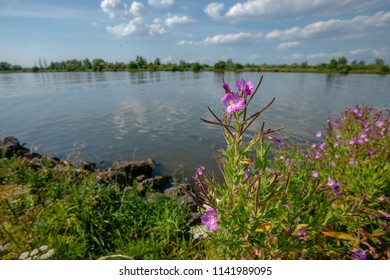 Flowering wild plants along the banks of a flowing river. Dutch Delta landscape with blue sky and white clouds over a river landscape