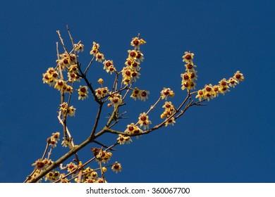 Flowering wintersweet (Chimonanthus praecox)