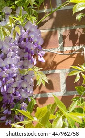 flowering wistaria on the wall