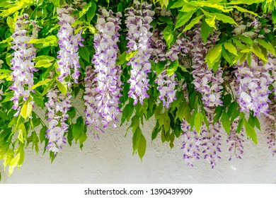 Flowering Wisteria  and house wall background.  Natural home decoration with flowers of Chinese Wisteria ( Fabaceae Wisteria sinensis )