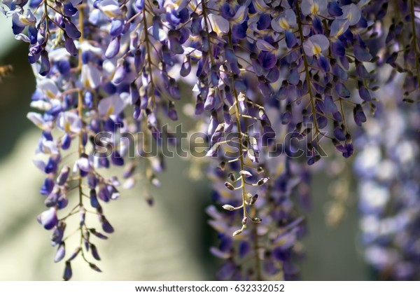 Flowering wisteria on a clear sunny day.