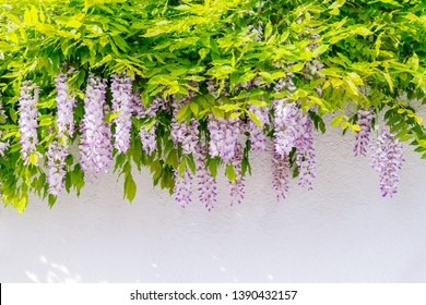 Flowering Wisteria on house wall background.  Natural home decoration with flowers of Chinese Wisteria ( Fabaceae Wisteria sinensis )