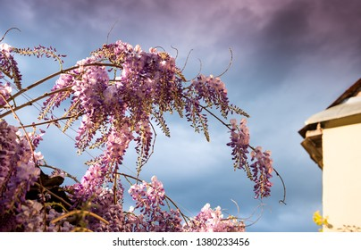 Flowering Wisteria plants against blue sky. Natural home decoration with flowers of Chinese Wisteria ( Fabaceae Wisteria sinensis )
