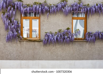 Flowering Wisteria plants on background of gray plaster on the facade of  house. Natural home decoration with flowers of Chinese Wisteria ( Fabaceae Wisteria sinensis )