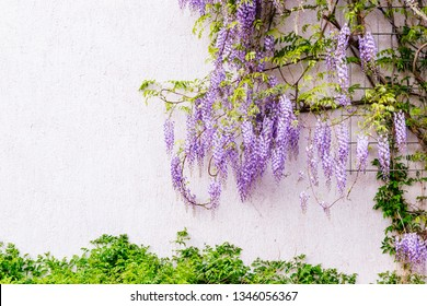 Flowering Wisteria plants on house wall background.  Natural home decoration with flowers of Chinese Wisteria ( Fabaceae Wisteria sinensis )