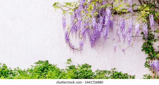 Flowering Wisteria plants on house wall background.  Natural home decoration with flowers of Chinese Wisteria ( Fabaceae Wisteria sinensis ), banner