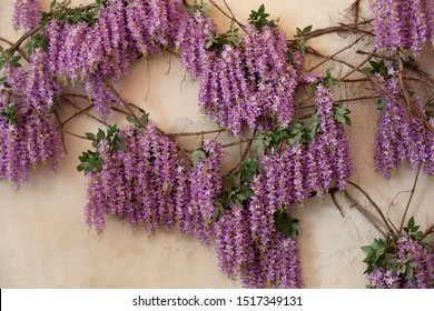 Flowering Wisteria plants on house wall background. Natural home decoration with flowers of Chinese Wisteria. Beautiful fresh purple wisteria flowers blooming in spring garden. Wisteria tree.