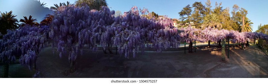 Flowering Wisteria plants on the sky. Natural home decoration with flowers of Chinese Wisteria. Fabaceae Wisteria Sinensis
