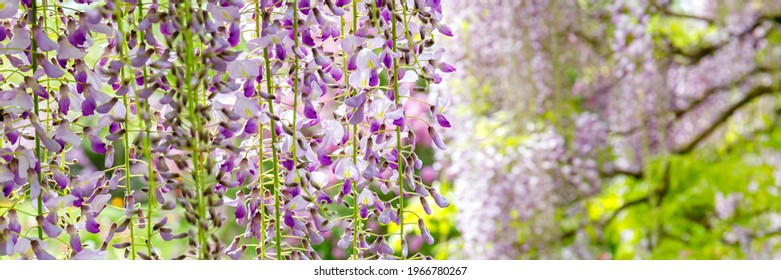 Flowering Wisteria tree in garden. Blue Wisteria  flowers in sunny day, banner. Lila Wisteria blossom